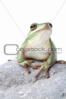 green tree frog on rock isolated