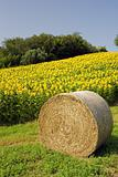 hay bale with sunflower field