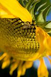 Sunflower and a bee