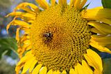 Sunflower and a bee on the sunflowers field