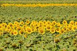 Field of sunflowers. Multitude of sunflowers is growing on a fie