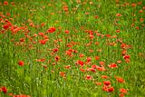 red poppies growing in field early summer France