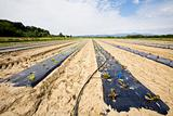 intensive vegtable farming with water irigation