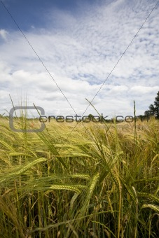 wheat crop growing in field France