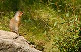 Richardson's ground squirrel, Alberta, Canada