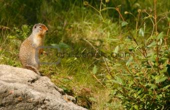 Richardson's ground squirrel, Alberta, Canada