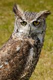 True or typical owl, strigidae
