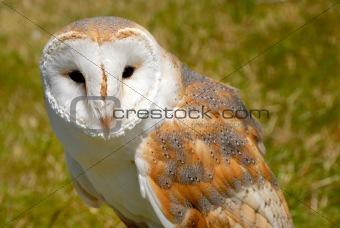 Close up of barn owl, tytonidae