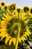 Field of sunflowers. Multitude of sunflowers is growing on a fie