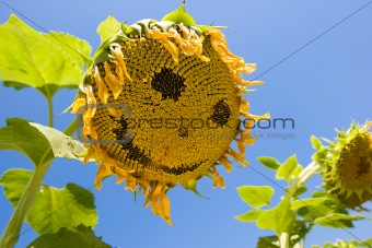 Smiling sunflower. Sunflower is smiling on the filed.