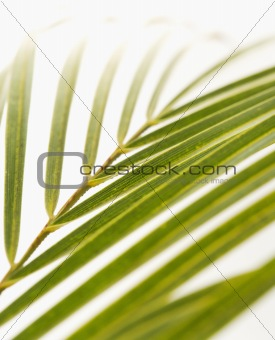 Palm frond on white.