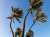 Palm trees blowing in wind.