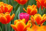 Pink tulip in the group
