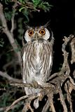 White-faced owl