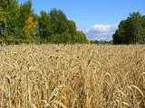 Wheaten field