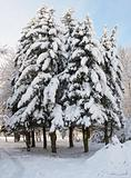 Winter firs group
