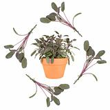 Purple Sage Herb