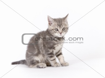 Gray marmoreal scottish breed kitten