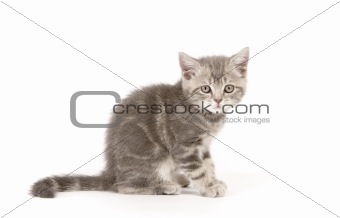 Gray marmoreal scottish breed kitten