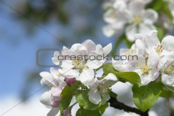 Blossom of an Apple-tree