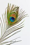 Feather of peacock