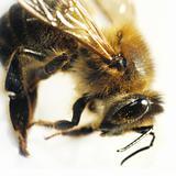 Bee macro isolated