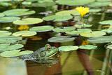 Green bullfrog in a pond with lillypads