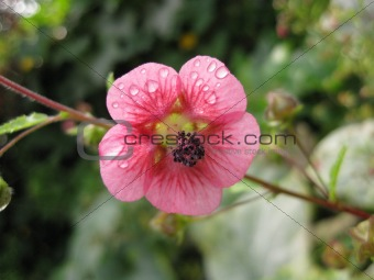 A pink flower after the rain