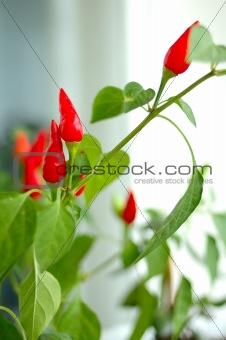 cayenne (capsicum) plant.