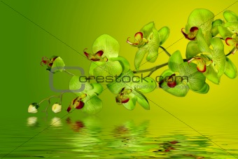 Green and Yellow Orchids in water