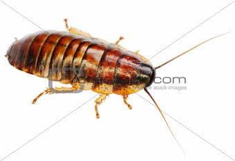 African big cockroach