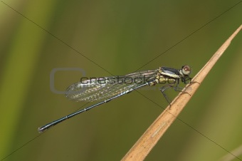 small damselfly in the parks