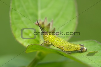 green grasshopper and flower in the parks