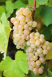 White grapes ready for harvest