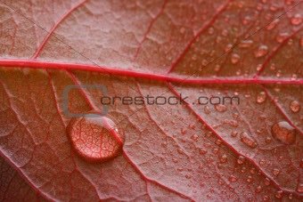 waterdrop on a red leaf