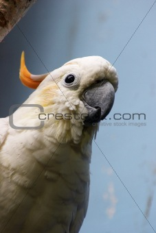 Citron-crested cockatoo