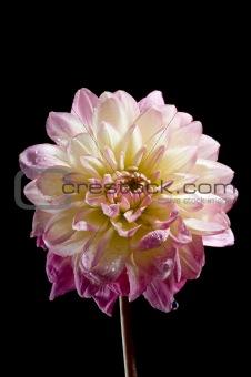 Waterlily dahila flower