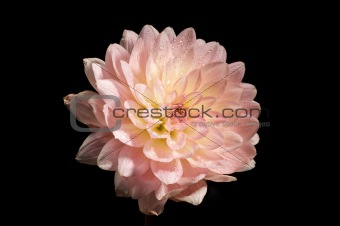 Waterlily Dahlia