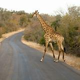 Griraffe crossing the road