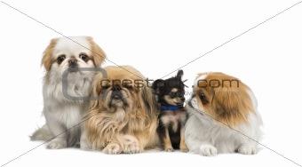 three Pekingeses and one chihuahua