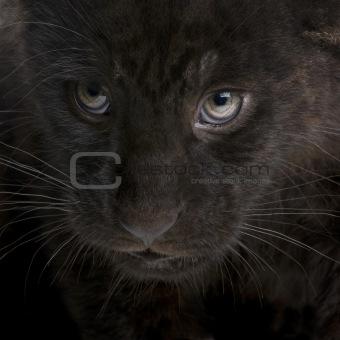 Jaguar cub - 2 months - Panthera onca