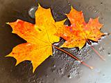 maple leaves in ice