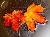 orange maple leaves in ice