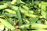 Freash picked corn on the cob background