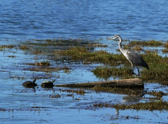 Grey Heron and two turtles