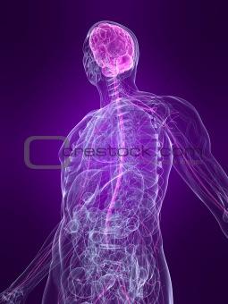 marked nervous system