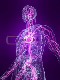 marked vascular system