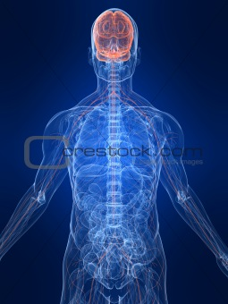 marked nervous system