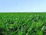 Field of green corn