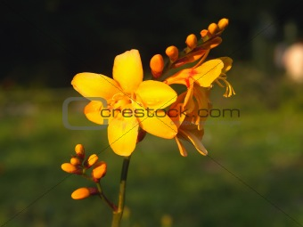 beautiful single yellow garden flower